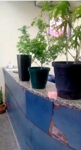 Homem é preso com plantação de maconha dentro de sua casa
