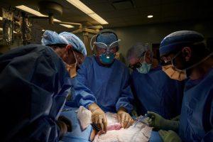 Pela primeira vez, cirurgiões dos EUA testam com sucesso transplante de rim de porco em humano